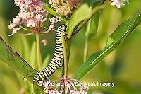 03536-046.17 Monarch (Danaus plexippus) caterpillar on Swamp Milkweed (Asclepias incarnata) Marion Co. IL