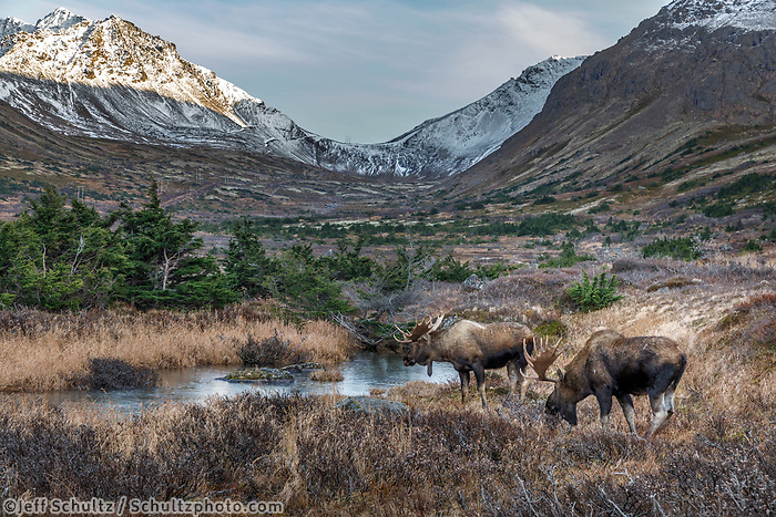 Fall landscape of bull moose drinking at pond with Chugach Mountains in background. Chugach State Park. Southcentral, Alaska<br /> <br /> Photo by Jeff Schultz/SchultzPhoto.com  (C) 2018  ALL RIGHTS RESERVED