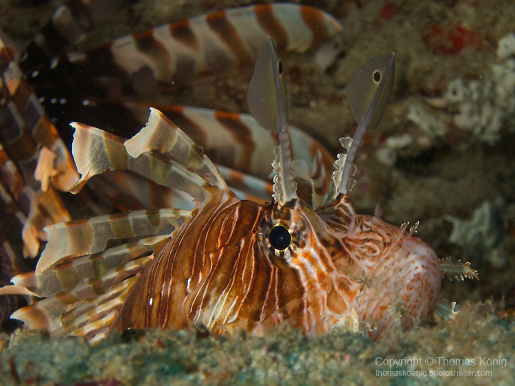 Kenting, Taiwan -- Common lionfish, Pterois volitans, in a lionfish 'lair' under a rock ledge.