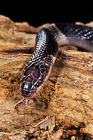 439854006 a captive many-banded krait bungarus multicinctus multicintus lays coiled on a large log - this is a captive animal - species is native to southeast asia