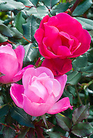 Rosa Knock Out and Pink Knockout roses mixed, pink and red