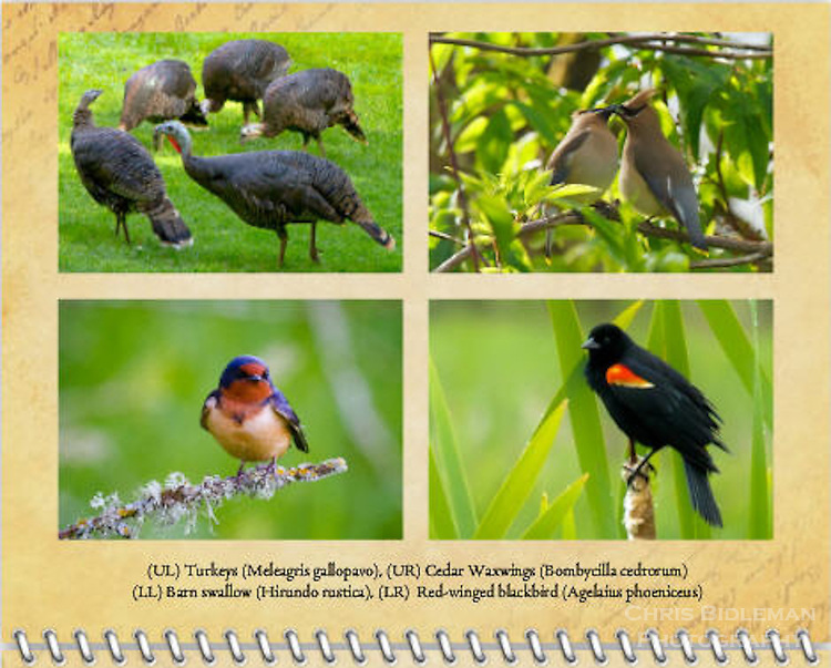 2015 Calendar - Birds of a Feather with photography by Chris Bidleman.Two Cedar Waxwings (Bombycilla cedrorum) sharing seed sitting on a branch in the Ridgefield National Wildlife Refuge.<br /> A close up photo of a barn swallow (Hirundo rustica) is perched on a tree branch covered in lichens with a fuzzy green background.