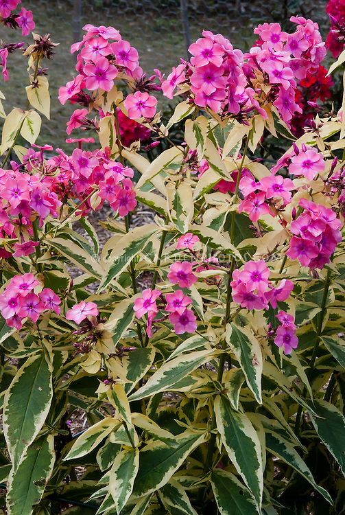 Phlox paniculata becky towe plant flower stock photography phlox paniculata becky towe 117 variegated garden phlox with pink fragrant flowers mightylinksfo Image collections