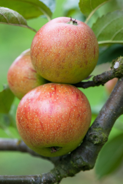 Apple 'Mabbot's Pearmain', mid September. A 19th century English dessert apple, originally from around Maidstone, Kent.