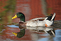 Mallard (Anas platyrhynchos) with reflected fall colors.