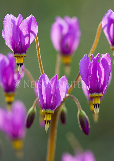 Shooting Star wildflower close up in Lolo National Forest in Montana