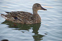 Female Mallard on early morning swim in pond