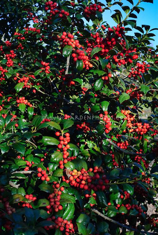 Ilex cornuta Horned Holly in autumn red berries
