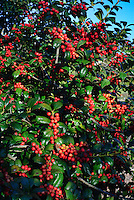 Ilex cornuta Horned Holly in autumn red berries