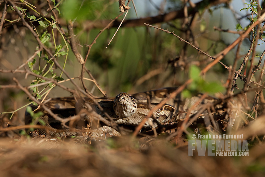 African Python (Python Sebae)...Mashatu Game Reserve..Tuli block, Botswana..November 2010.