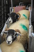 Swaledale ewes in a handling system...Copyright John Eveson 01995 61280..j.r.eveson@btinternet.com