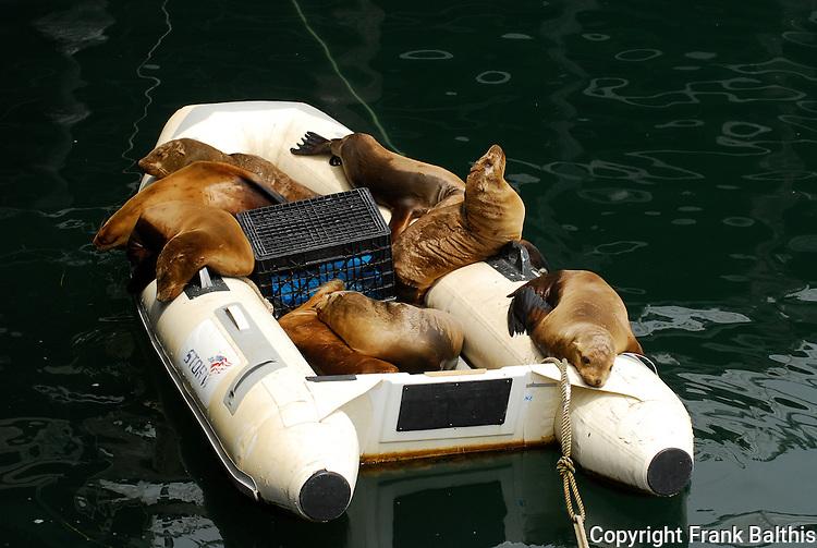 California sea lions on Zodiac