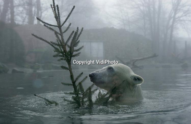 Foto: VidiPhoto..RHENEN - De dieren in Ouwehands Dierenpark in Rhenen kregen dinsdag kerstbomen op het menu. De kerstbomen, afkomstig van handelaren, bleven onverkocht en werden door het park opgekocht om aan de dieren te geven als verrijking om te eten en mee te spelen.