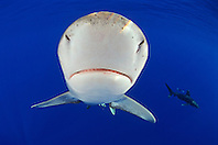 Oceanic Whitetip Sharks, Carcharhinus longimanus, note ampullae of Lorenzini, off Kona Coast, Big Island, Hawaii, Pacific Ocean.