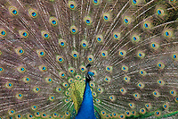 Peacock, Male Indian or Blue Peafowl Bird Displaying Irridesant Colorful Tail Feathers with Eyelike Markings, Point Defiance Zoo, Tacoma, Washington State, WA, America, USA.