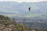 California Condors and their Stewards