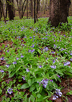 Bluebells bloom in spring at Hammel Woods Forest Preserve in Will County, Illinois