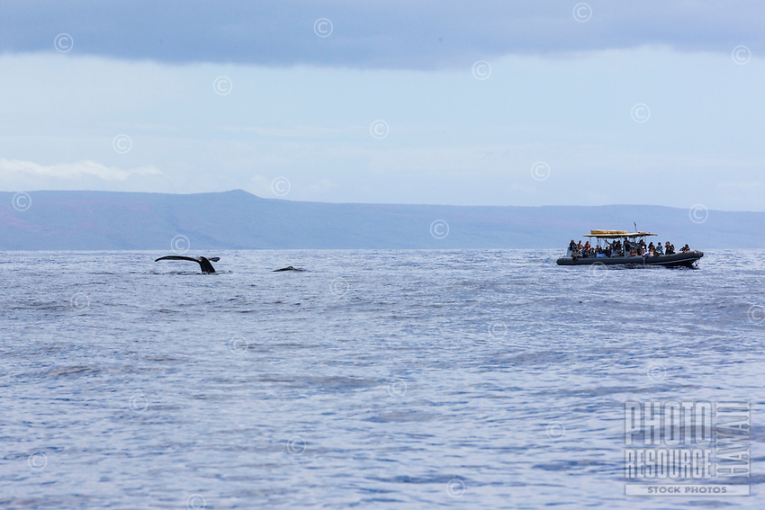 Humpback whale displaying his or her tail as tourists watch from a boat off the coast of Maui.