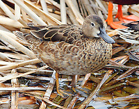 Adult female cinnamon teal