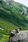 Hoary Marmot on a rock by Harding Icefield Trail