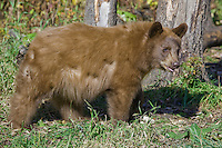 Young Cinnamon Black Bear walking in front of a tree