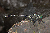Eastern Least Clubtail (Stylogomphus albistylus) Dragonfly - Male, Promised Land State Park, Greentown, Pike County, Pennsylvania