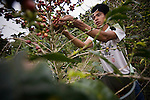 MONTEVERDE, COSTA RICA- JANUARY 7, 2009:  Nicaraguan farm workers pick coffee at a Monteverde Fair Trade Cooperative farm on January 7, 2009 in Santa Elena, Costa Rica.    (Photo by Michael Nagle)