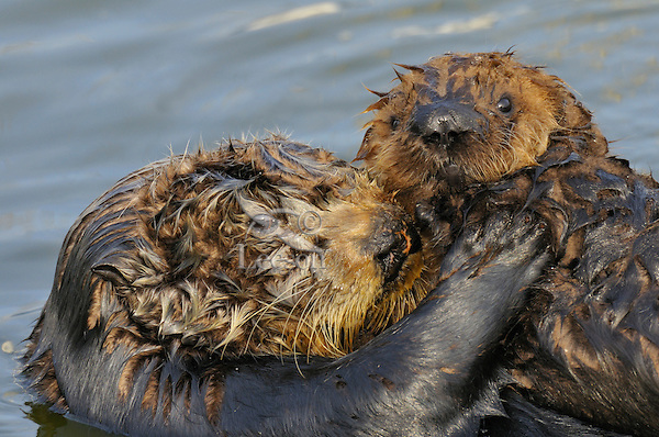 Sea Otter (Enhydra lutris) mother holding pup.