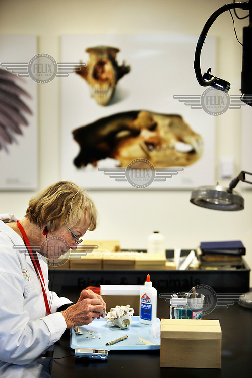 A scientist at the California Academy of Sciences, San Francisco, works on an animal skull.