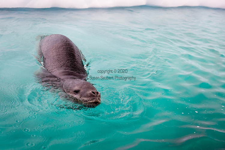 A leopard seal explores a zodiac in Paradis Harbour, Antarctica