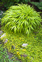Yellow coordinated color theme garden, monochromatic use of one color with perennials ornamental grass Hakon grass Allgold and Lysimachia nummularia 'Aurea' creeping jenny groundcover, shade tolerant plants