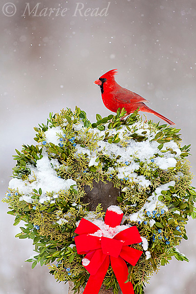 Northern Cardinal (Cardinalis cardinalis) male perched on snow-covered Christmas wreath during snowstorm, New York, USA