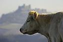 18/12/07 - LIMAGNE - PUY DE DOME - FRANCE - Elevage de bovins allaitants. Vache CHAROLAISE - Photo Jerome CHABANNE