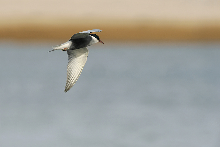 Whiskered Tern Chlidonias hybridus (L 24-27cm) is more like a miniature Common Tern in breeding plumage but at other times it is mainly white with pale grey upperwings and blackish speckling on hindcrown.
