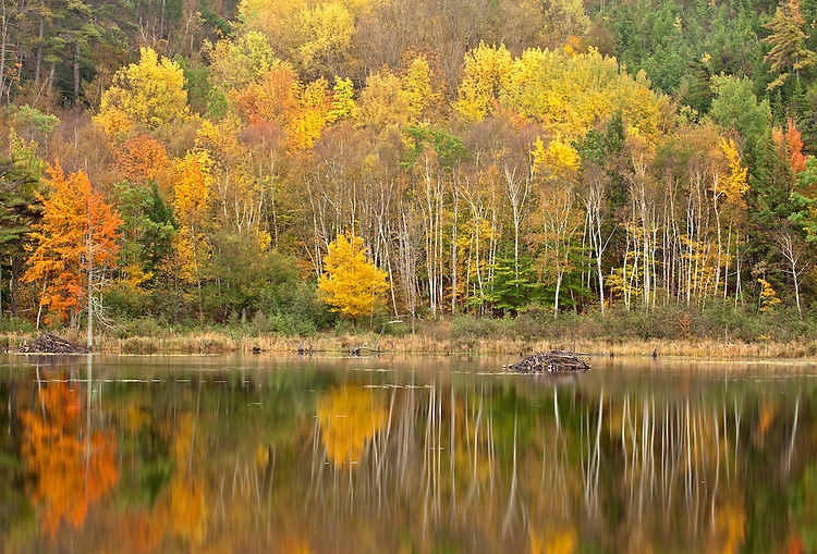 Deciduous trees reflect in pond in autumn on Mount Desert Island, Acadia National Park, Maine, USA