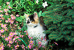 Calico kitten in flowers