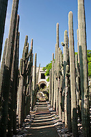 Organ cacti at the etno-botanical gardens in Santo Domingo, Oaxaca City, Oaxaca.