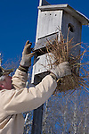 Man placing fresh hay in a wood duck house (nest cavity).  Winter, WI.