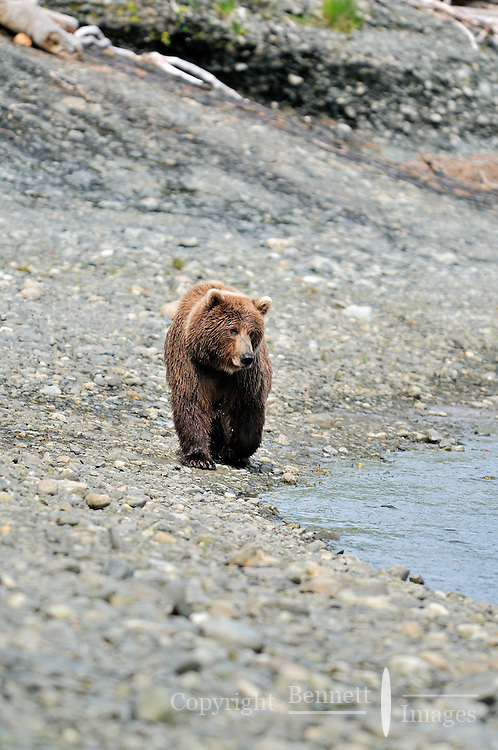 A brown bear walks by the tidal lagoon in Alaska's McNeil River State Game Sanctuary.