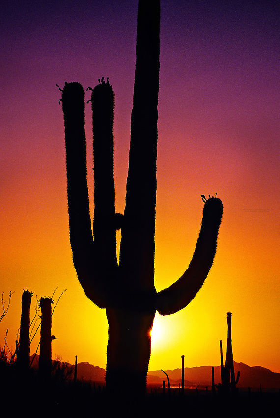 Saguaro Cactus at sunset, Saguaro National Park, Tucson Mountain District, west of Tucson, Arizona USA