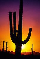 Saguaro Cactus at sunset, Saguaro National Park, Tucson Mountain District, west of Tucson, Arizona USA