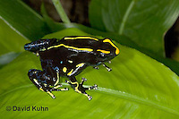 1023-07vv  Dendrobates tinctorius ñ Dyeing Poison Arrow Frog ñ Tincs Dart Frog © David Kuhn/Dwight Kuhn Photography