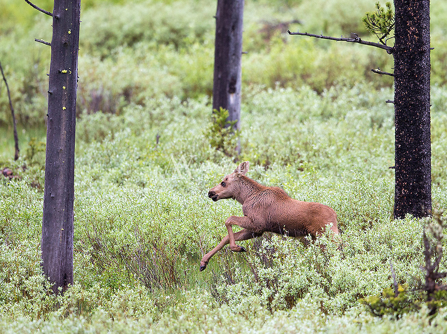 A moose calf runs to catch up with its mother.