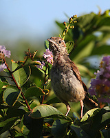Bewick's Wren during a summer molt. Early morning with erect posture..