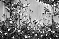 Yellow Allamanda flowers on fence. Charlotte Amalle. St. Thomas. US Virgin Islands.