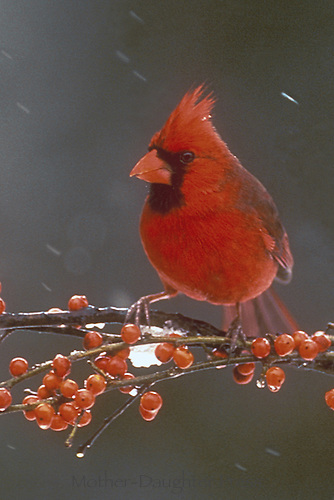Male Northern cardinals, Cardinal cardinalis, on branch with red berries in snow