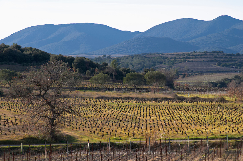 Domaine Mas Gabinele. Faugeres. Languedoc. In the vineyard. France. Europe. Mountains in the background.