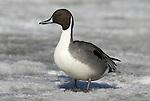 Northern Pintail, Anas acuta, Male standing on ice, Odaito, Hokkaido Island, Japan, japanese, Asian, wilderness, wild, untamed, ornithology.Japan....