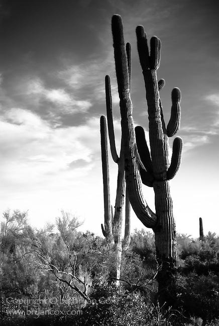 Saguaros, Lost Dutchman State Park, Arizona