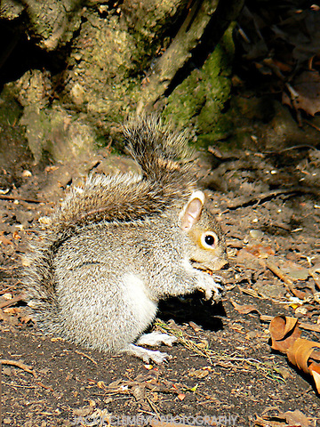 "Grey squirrels in Kensington Gardens are quite relaxed around people, sometimes coming up to you and giving a look as if to say ""Wheres some food for me?""  Indigenous red squirrels have unfortunately become endangered in England after the introduction of the grey species."